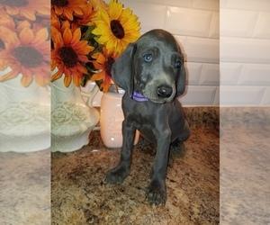 Weimaraner Puppy for sale in GOODSPRING, TN, USA