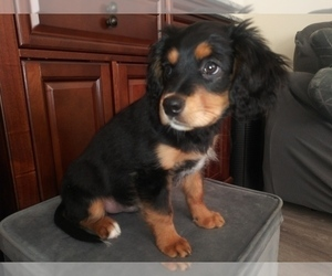 Australian Shepherd-Cavalier King Charles Spaniel Mix Puppy for Sale in HOWLAND, Ohio USA