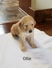 Golden Retriever Puppy For Sale in GRIDLEY, KS, USA