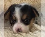 Puppy 0 Pembroke Welsh Corgi