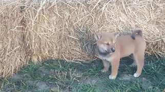 Shiba Inu Puppy For Sale in HINDSBORO, IL, USA