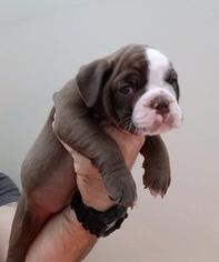 High Quality Olde English Bulldogge Puppies