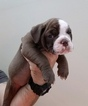 Small #2 Olde English Bulldogge