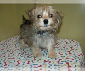 Yo-Chon Puppy for sale in PATERSON, NJ, USA