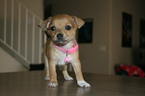 Taco Terrier Puppy For Sale in TUCSON, AZ