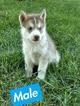 Siberian Husky Puppy For Sale in ARTHUR, Illinois,