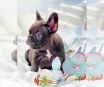 Small Photo #5 French Bulldog Puppy For Sale in CORONA, CA, USA