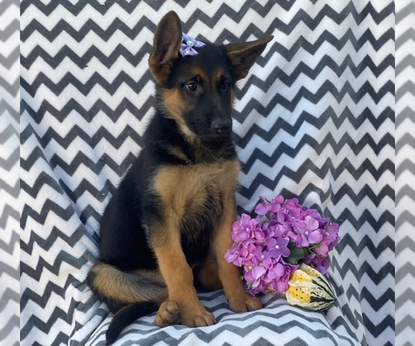 View Ad: German Shepherd Dog Puppy for Sale near In France