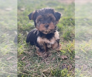 Yorkshire Terrier Dog for Adoption in SACRAMENTO, California USA