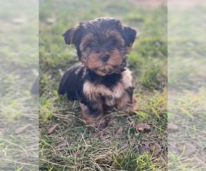 Yorkshire Terrier Dog for Adoption in SACRAMENTO, California USA