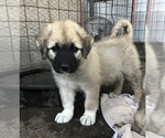 Puppy 2 Anatolian Shepherd-Great Pyrenees Mix