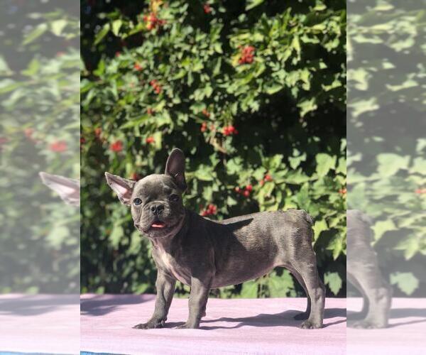 Medium Photo #2 French Bulldog Puppy For Sale in HOUSTON, TX, USA