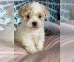 Puppy 4 Shih-Poo-Zuchon Mix