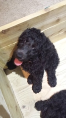 Poodle (Standard) Puppy For Sale in LEWISVILLE, TX