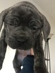 Cane Corso Puppy For Sale in ACTON, CA