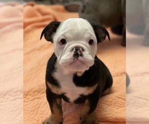 Bulldog Puppy for sale in FRESNO, CA, USA