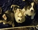 Siberian Husky Puppy For Sale in SALEM, OR,