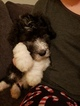 Sheepadoodle Puppy For Sale in TIERRA BUENA, CA, USA