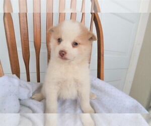 Pomsky Puppy for sale in THREE RIVERS, MI, USA