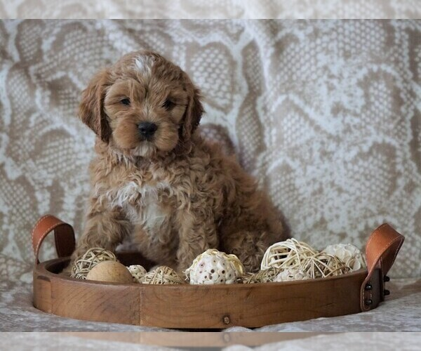 View Ad: Cocker Spaniel-Poodle (Miniature) Mix Puppy for Sale In United Arab Emirates