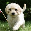 Labradoodle Puppy For Sale in WABASH, Indiana,