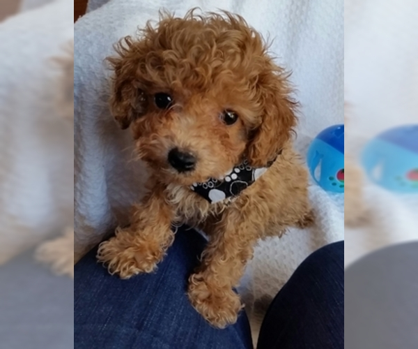 Puppyfindercom View Ad Photo 2 Of Listing Poodle Toy