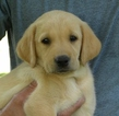Labrador Retriever Puppy For Sale in SACRED HEART, MN, USA