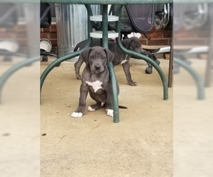 Great Dane Puppy for Sale in FARMERSVILLE, Texas USA