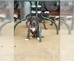 Great Dane Puppy For Sale in FARMERSVILLE, TX, USA