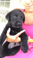 Labrador Retriever Puppy For Sale in MARCELINE, MO, USA