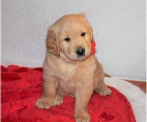 Golden Retriever Puppy for Sale in COLUMBUS, Ohio USA