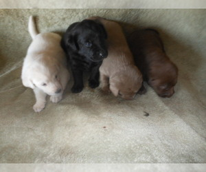 Labrador Retriever Puppy for sale in SANTA FE, NM, USA