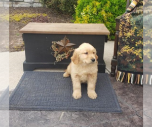 Golden Retriever Puppy for sale in ALLENTOWN, PA, USA