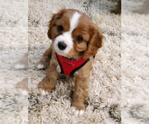 Cavalier King Charles Spaniel Puppy for sale in TYRONE, GA, USA