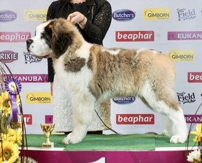 Saint Bernard Puppy for sale in Riga, Riga, Latvia