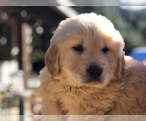 Golden Retriever Puppy for Sale in WESTLAKE VILLAGE, California USA