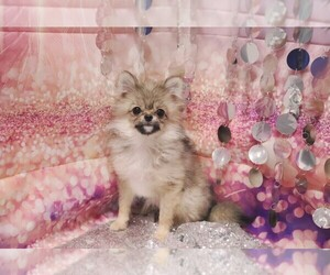 Pomeranian Puppy for sale in LAS VEGAS, NV, USA