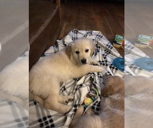 English Cream Golden Retriever Puppy for Sale in SALEM, New Hampshire USA