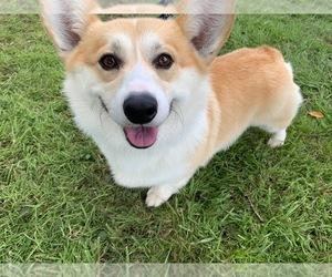 Pembroke Welsh Corgi Puppy for Sale in AUBURN, Washington USA
