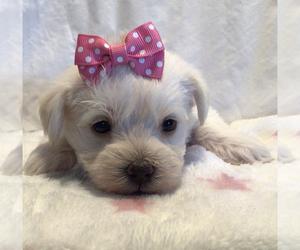 Maltipoo Dog for Adoption in BRUSH PRAIRIE, Washington USA
