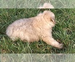 Small Photo #7 Bouvier Des Flandres Puppy For Sale in AMBOY, WA, USA