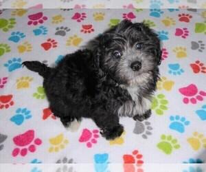 La-Chon Puppy for Sale in ORO VALLEY, Arizona USA