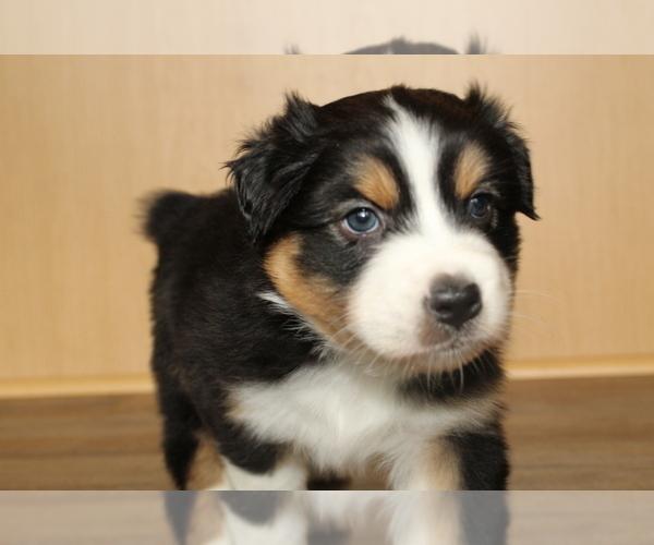 Medium Photo #15 Australian Shepherd Puppy For Sale in CARMEL, IN, USA