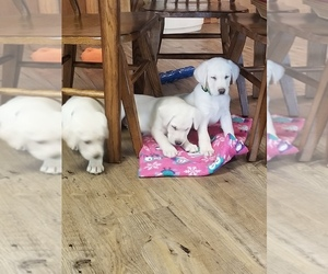 Labrador Retriever Puppy for Sale in SHAWANO, Wisconsin USA