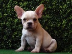 French Bulldog Puppy For Sale in ARLINGTON, VA, USA