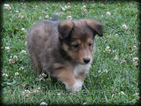 Shetland Sheepdog Puppy For Sale in WAYLAND, IA, USA