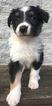 Australian Shepherd Puppy For Sale near 47355, Arba, IN, USA