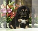 Puppy 10 Tibetan Mastiff