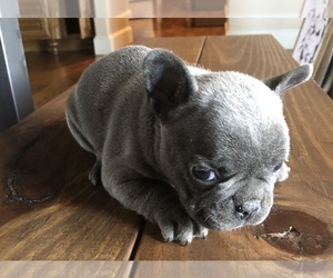French Bulldog Puppy for sale in KRUM, TX, USA