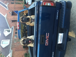 Mastiff Puppy for sale in PLANO, TX, USA